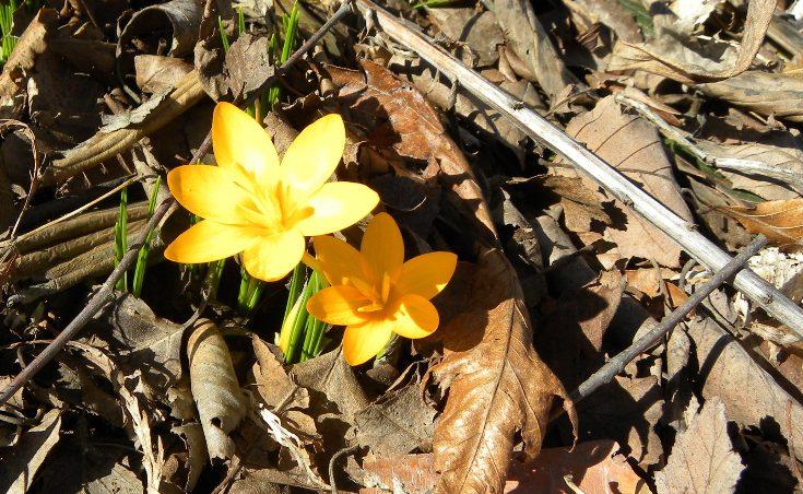 Yellow crocus blooming
