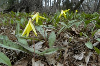 Trout lily flowers in the woods