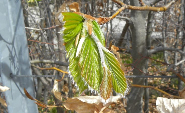 Young beech leaves unfolding from the bud.