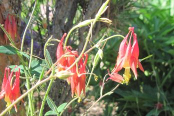 Columbine (Aquilegia canadensis) bloom showing spurs