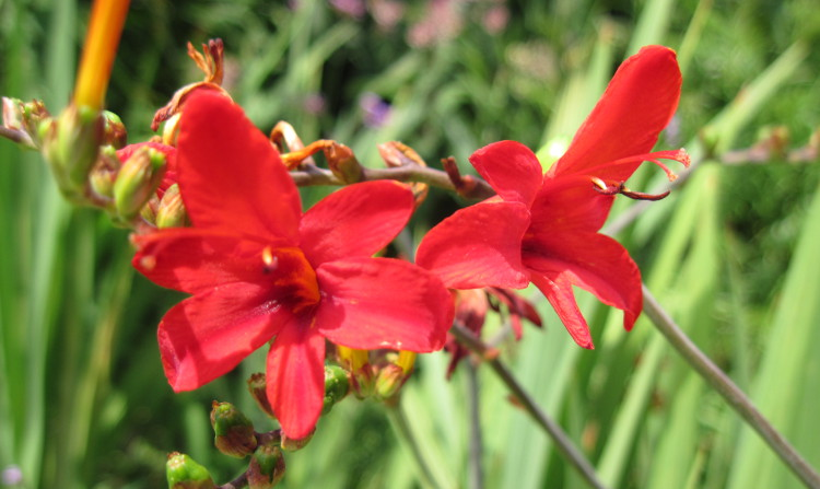 Crocosmia bloom showing stigma