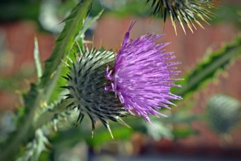 Close up of thisle flower