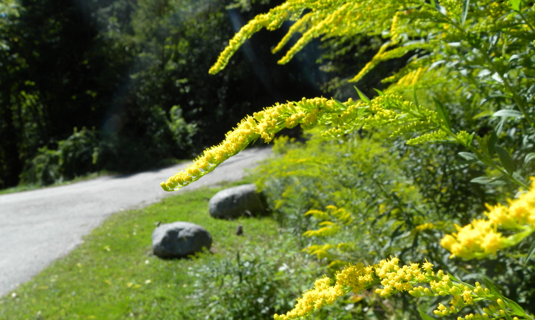 goldenrod inflorescence showing secund arrangement of flowers