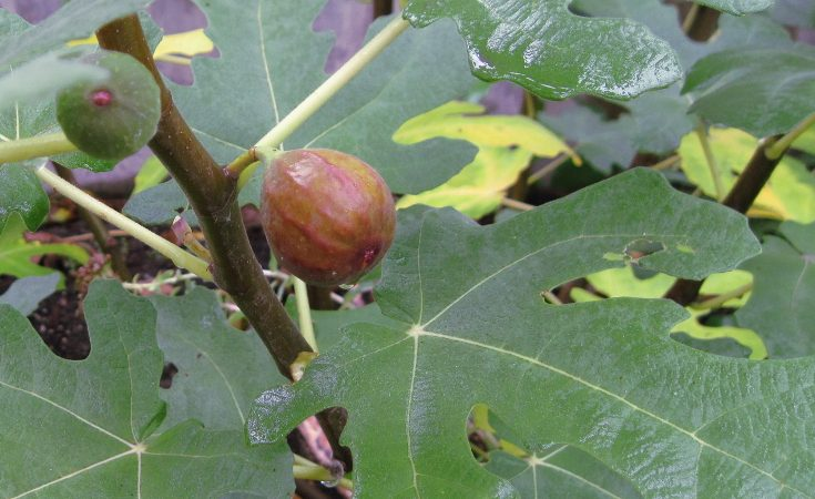 the fruit of the fig tree
