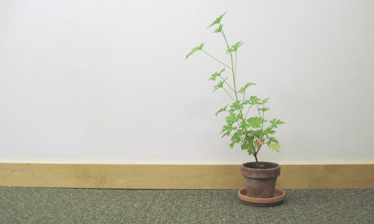 A potted scented geranium showing elongated, spindly growth.