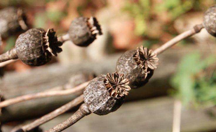 Dry poppy capsules