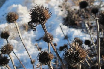 Seed heads in winter