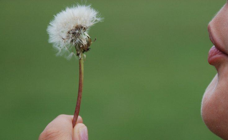 Child blowing dandelion seeds