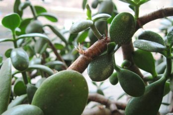 Adventitious roots growing on a jade plant's stem
