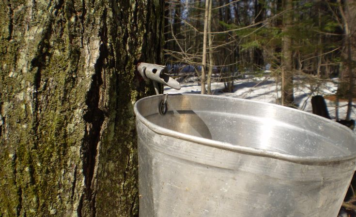 Maple sap tap with bucket