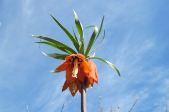 Fritillaria imperialis showing nectaries