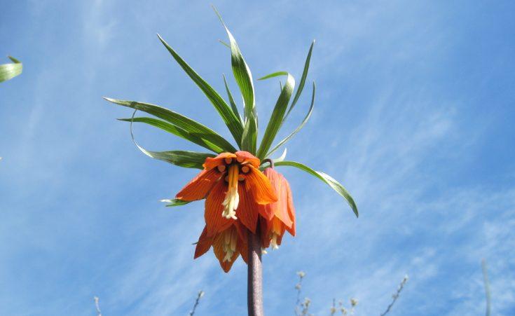 Fritillaria imperialis showing nectaries