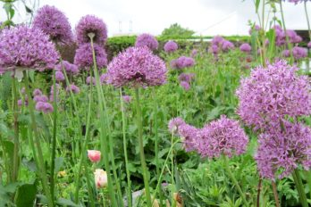 Allium flowers showing their umbel forms