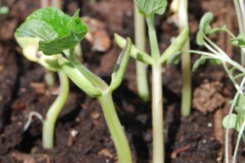 Bean seedlings showing cotyledons