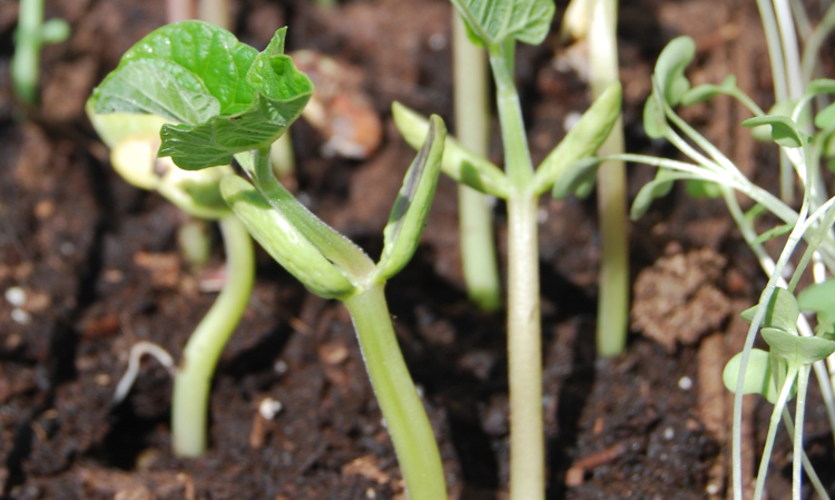 Bean seedlings showing cotyledons