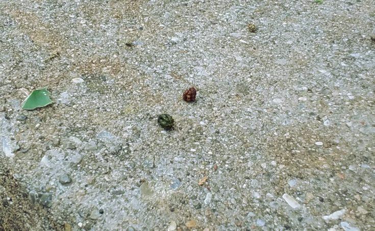 two pellets of caterpillar frass