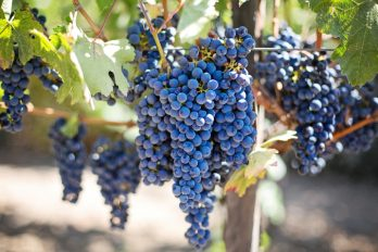 Bunches of grapes hanging from the vine