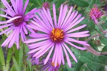 Fall aster flower close-up