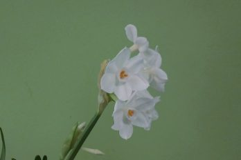 Paperwhites showing keeled flower stalk