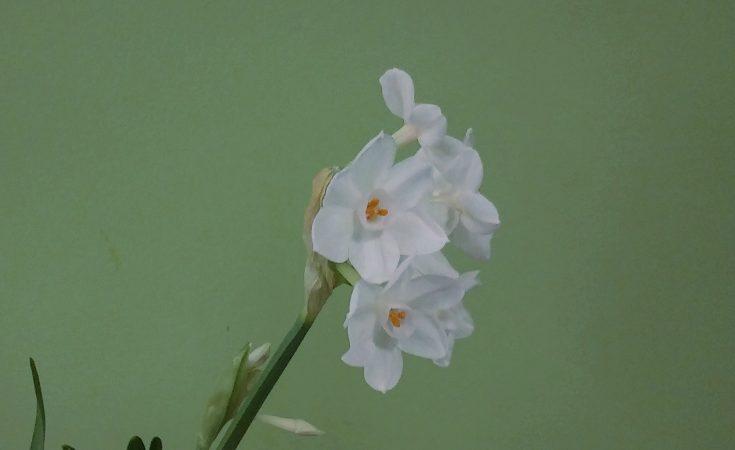 Paperwhites showing keeled flower stalk