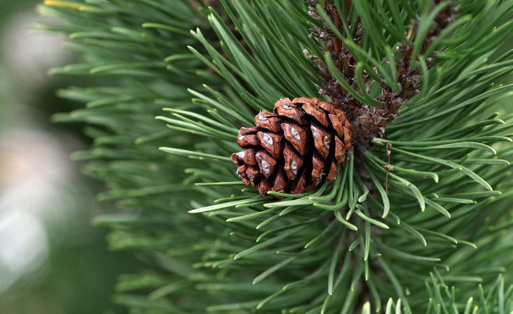 Pine needles and cone