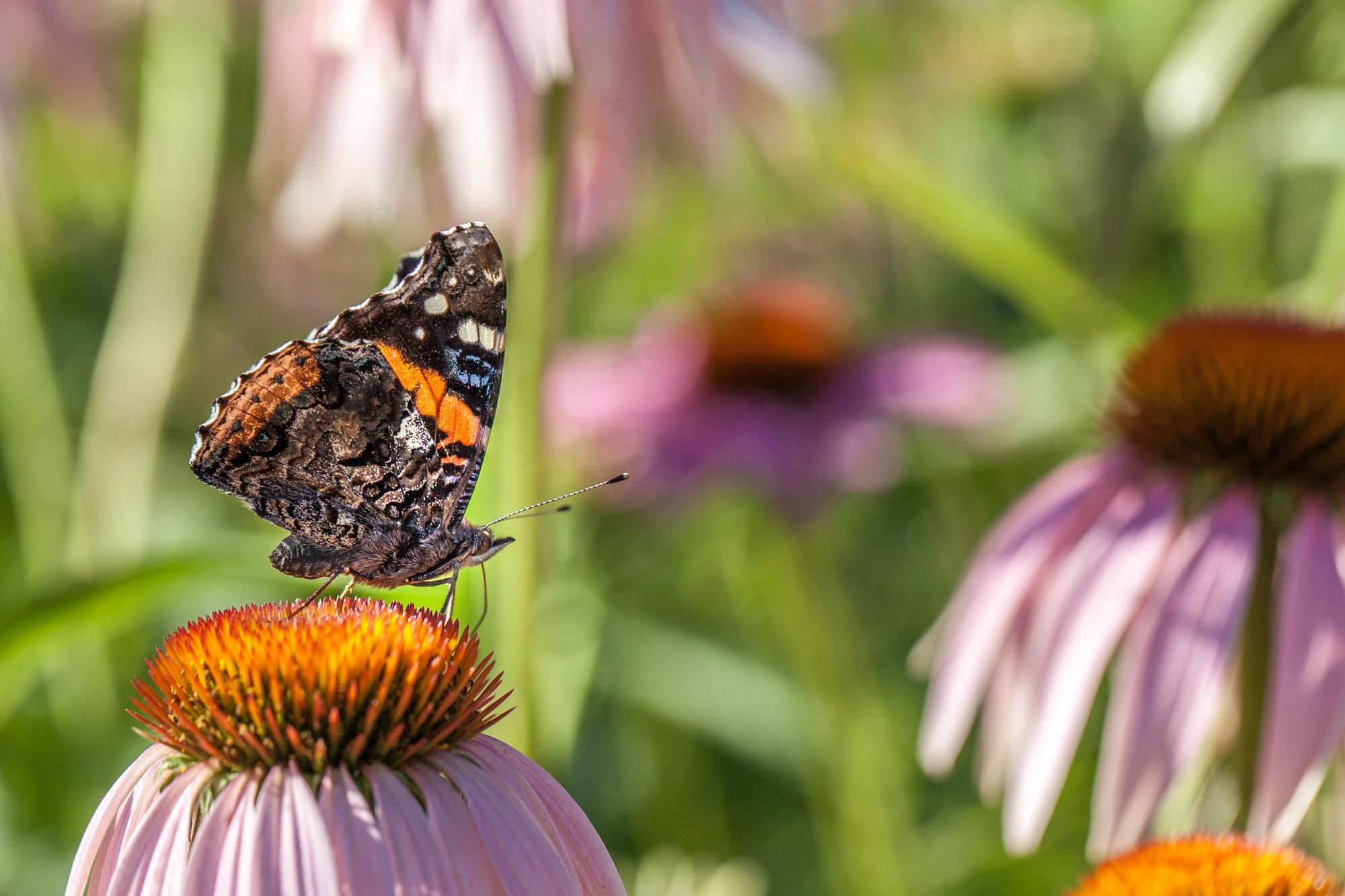 Southern Ontario Butterflies