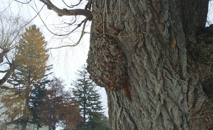 Burl growth on a willow tree trunk