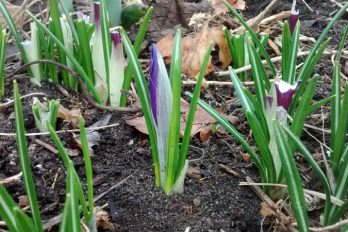 Crocus emerging showing leaves
