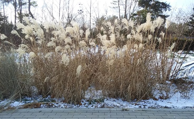 Miscanthus grass growing in tufts