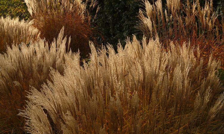 Sedges & Grasses