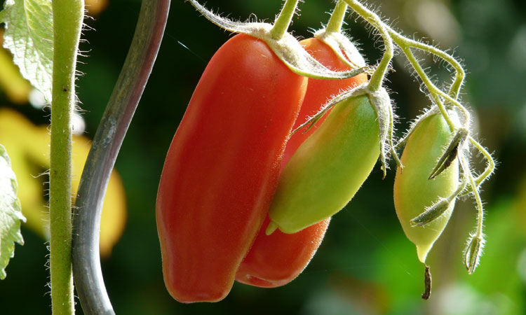 Trials, Tribulations and Triumphs of Growing Tomatoes