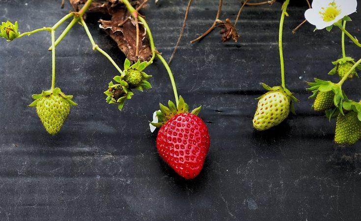 Strawberries on stems