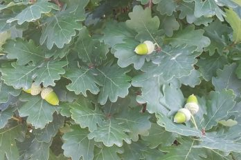 Acorns maturing on an oak tree