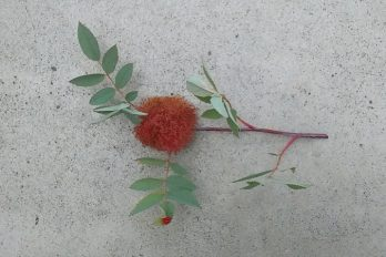 A moss gall on a rose stem