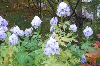 Aconitum 'Cloudy' Monkshood in bloom
