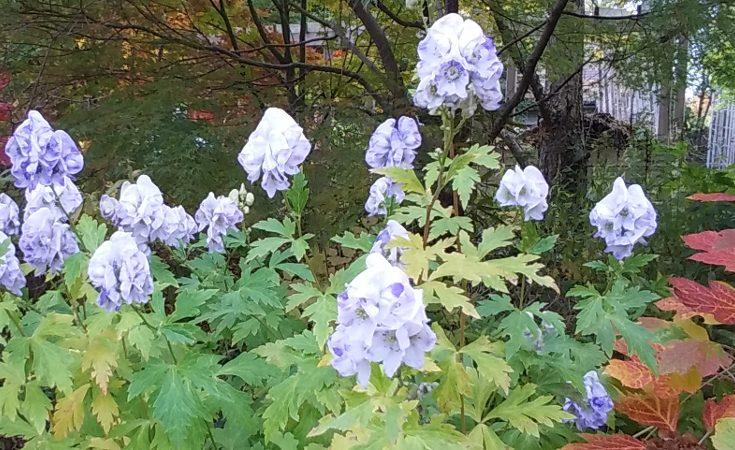 Aconitum 'Cloudy' Monkshood in bloom