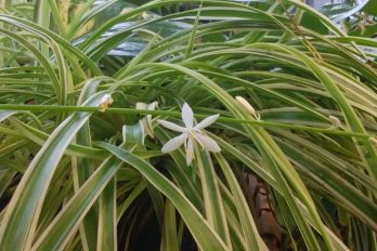 A spider plant flower
