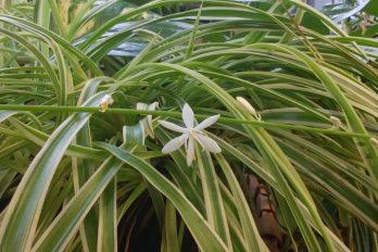 A spider plant flower