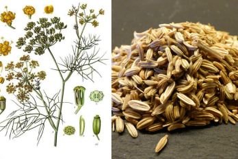 A botanical illustration of the fennel plant and an image of fennel seeds.