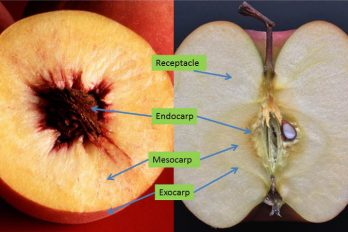 Peach and apple cross-sections showing the parts of their pericarps