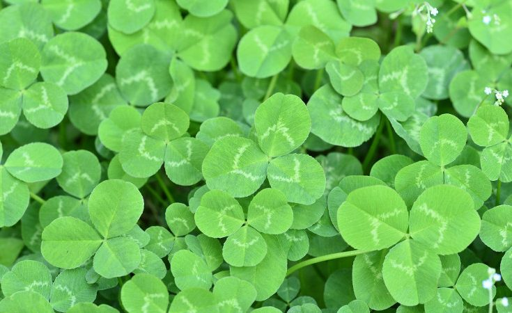 Three-leaved clovers growing in a mass.