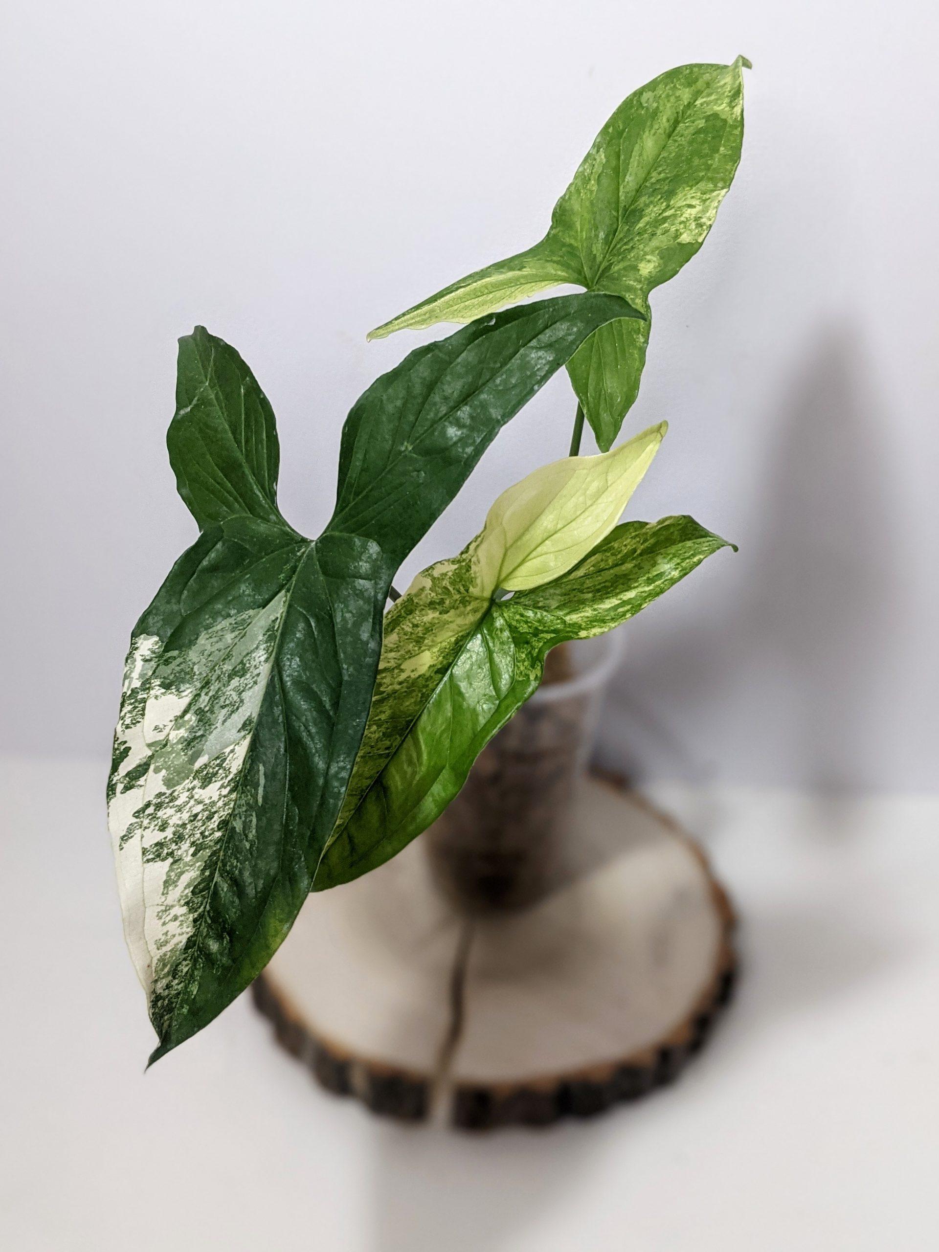 Syngonium podophyllum Albo-variegatum