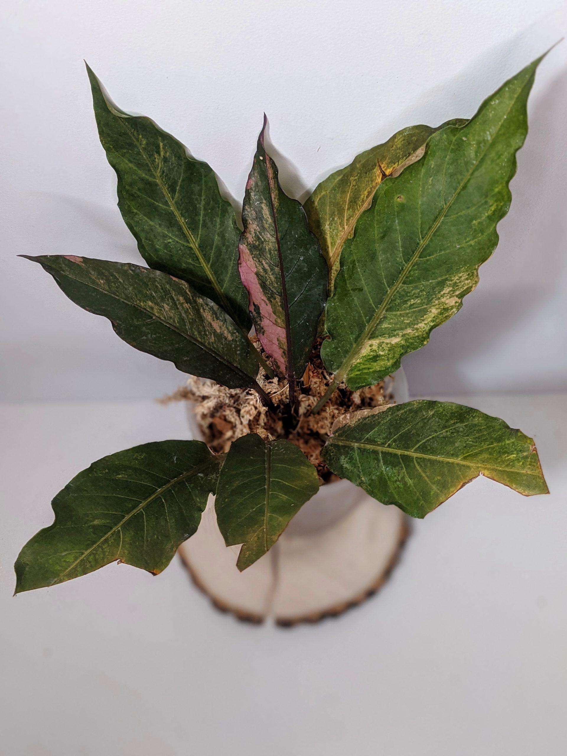 VariegatedAnthurium hookeri (Variegated Birdsnest Anthurium)